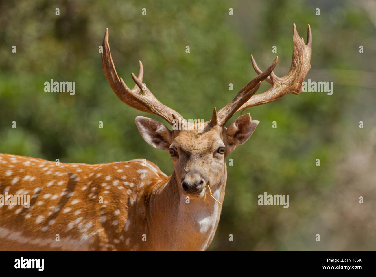 Male Mesopotamian Fallow deer (Dama mesopotamica) Photographed in Israel Carmel forest in July Stock Photo