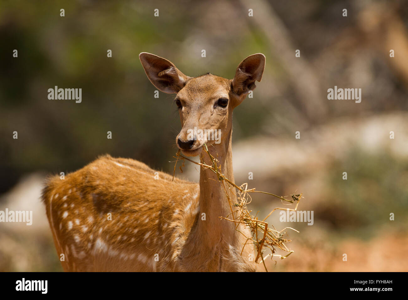 Female Mesopotamian Fallow deer (Dama mesopotamica) Photographed in Israel Carmel forest in August - Stock Image