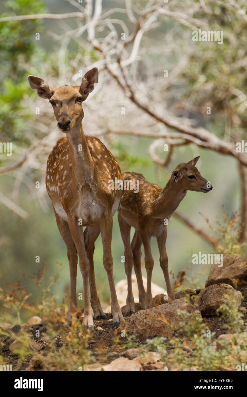 Female Mesopotamian Fallow deer (Dama mesopotamica) Photographed in Israel Carmel forest in August Stock Photo