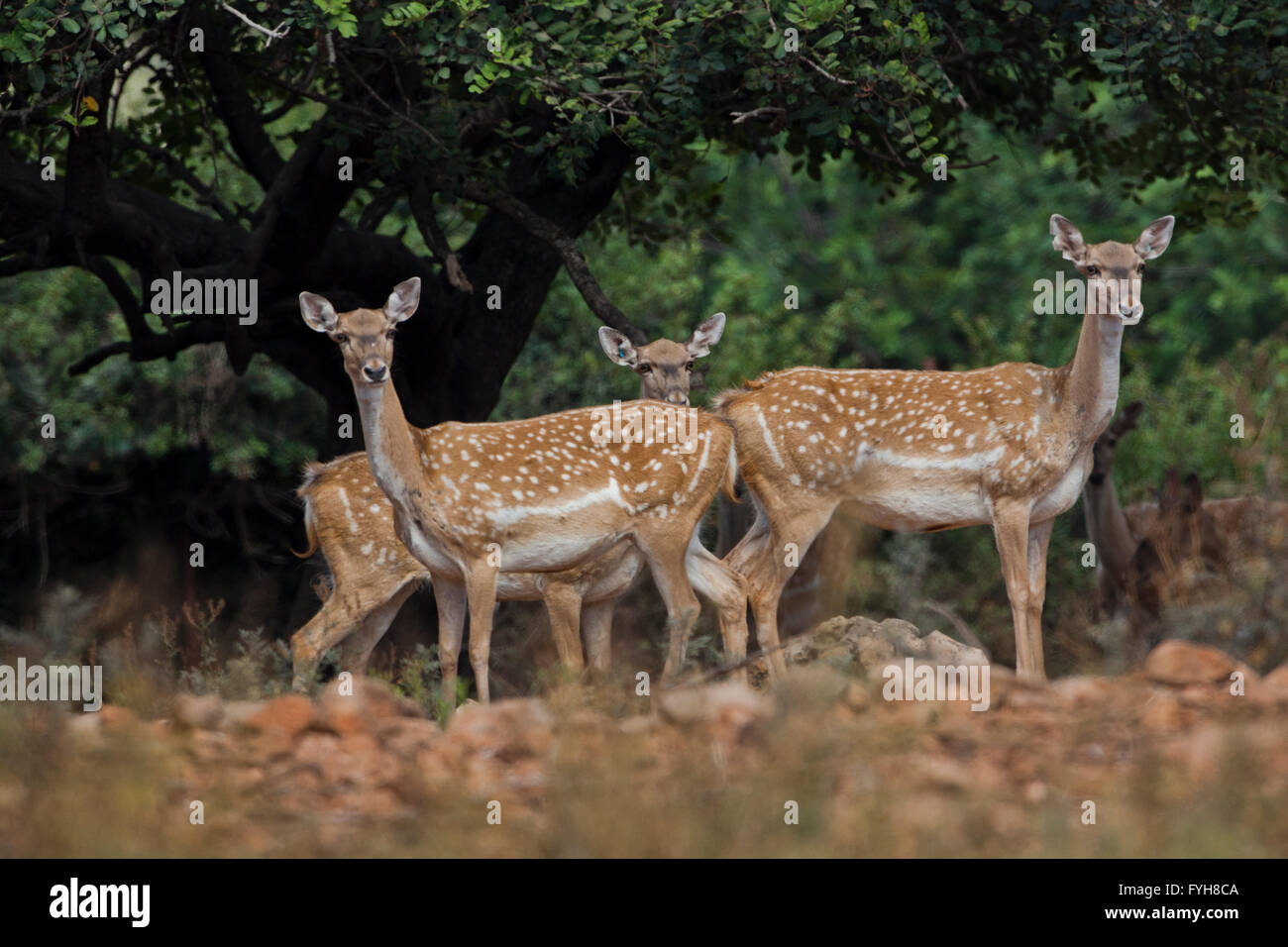 herd of  Mesopotamian Fallow deer (Dama mesopotamica) Photographed in Israel Carmel forest in August - Stock Image