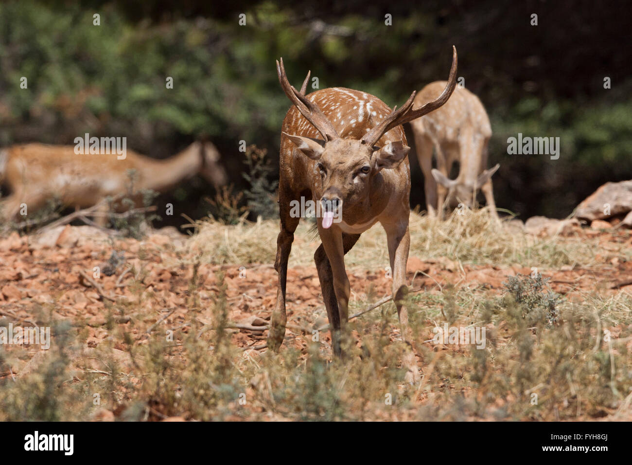 Male Mesopotamian Fallow deer (Dama mesopotamica) Photographed in Israel Carmel forest in August Stock Photo