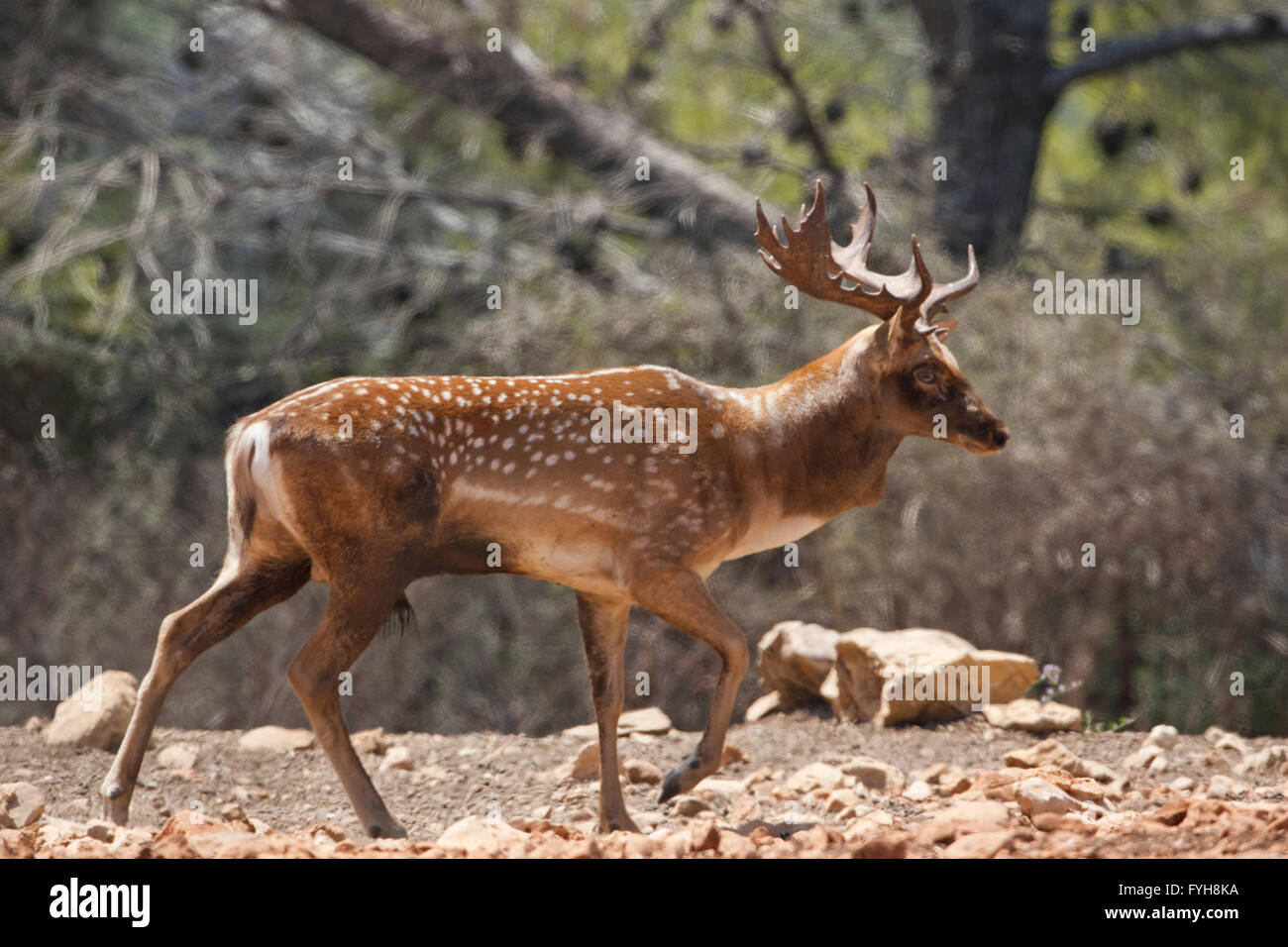 Male Mesopotamian Fallow deer (Dama mesopotamica) Photographed in Israel Carmel forest in August - Stock Image