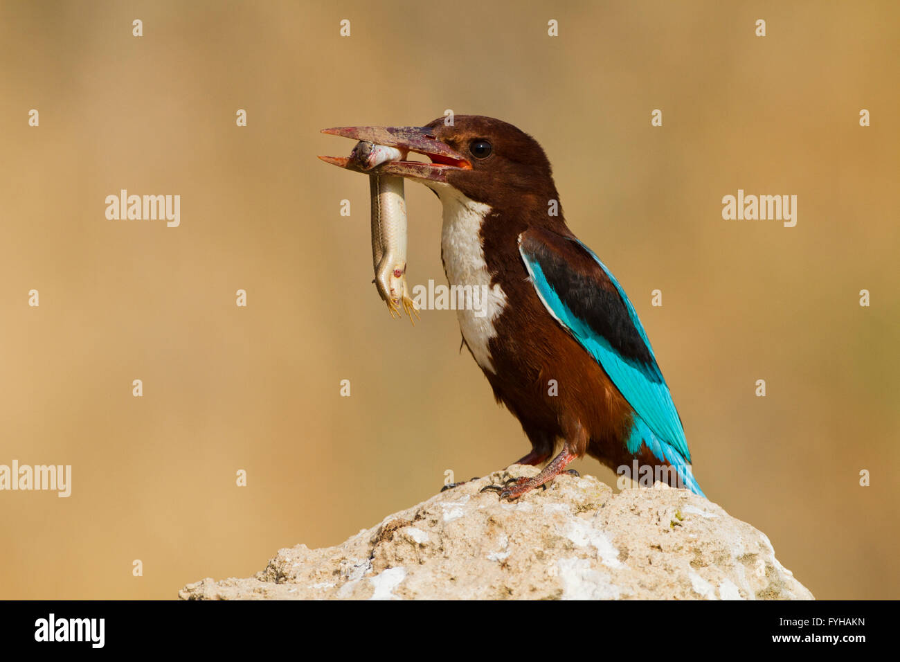 White-throated Kingfisher (Halcyon smyrnensis) with a lizard in its beak, Negev, Israel - Stock Image
