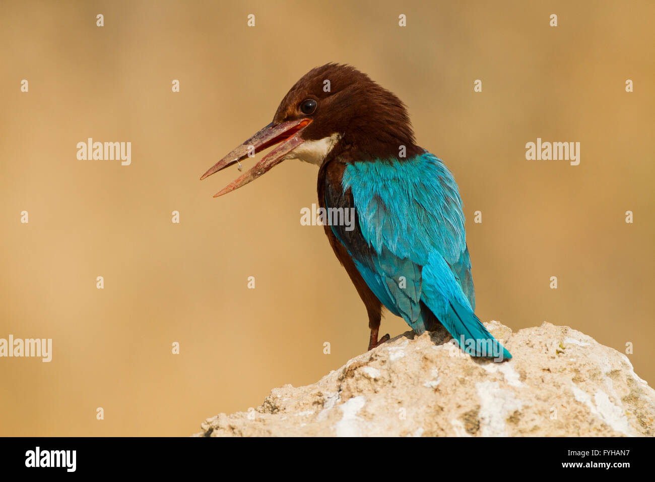 White-throated Kingfisher (Halcyon smyrnensis) Photographed in the Negev Desert, Israel in December - Stock Image