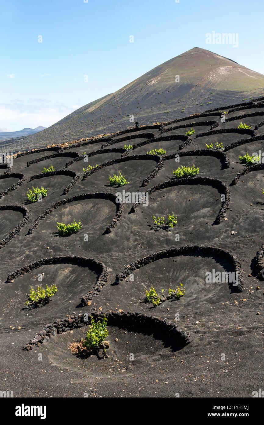 Vine moisture traps in volcanic landscape, La Geria, Lanzarote, Canary Islands, Spain - Stock Image