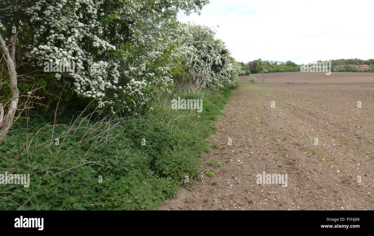 Arable field and field margin in Cheshire - Stock Image