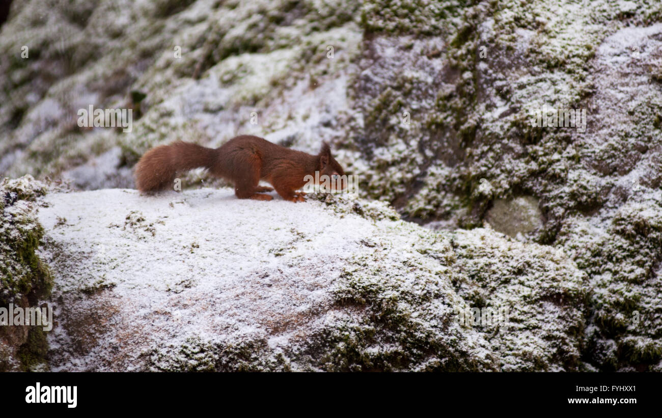 A red squirrel foraging in woodland in the English Lake District. The squirrel stands on a moss covered stone dusted - Stock Image