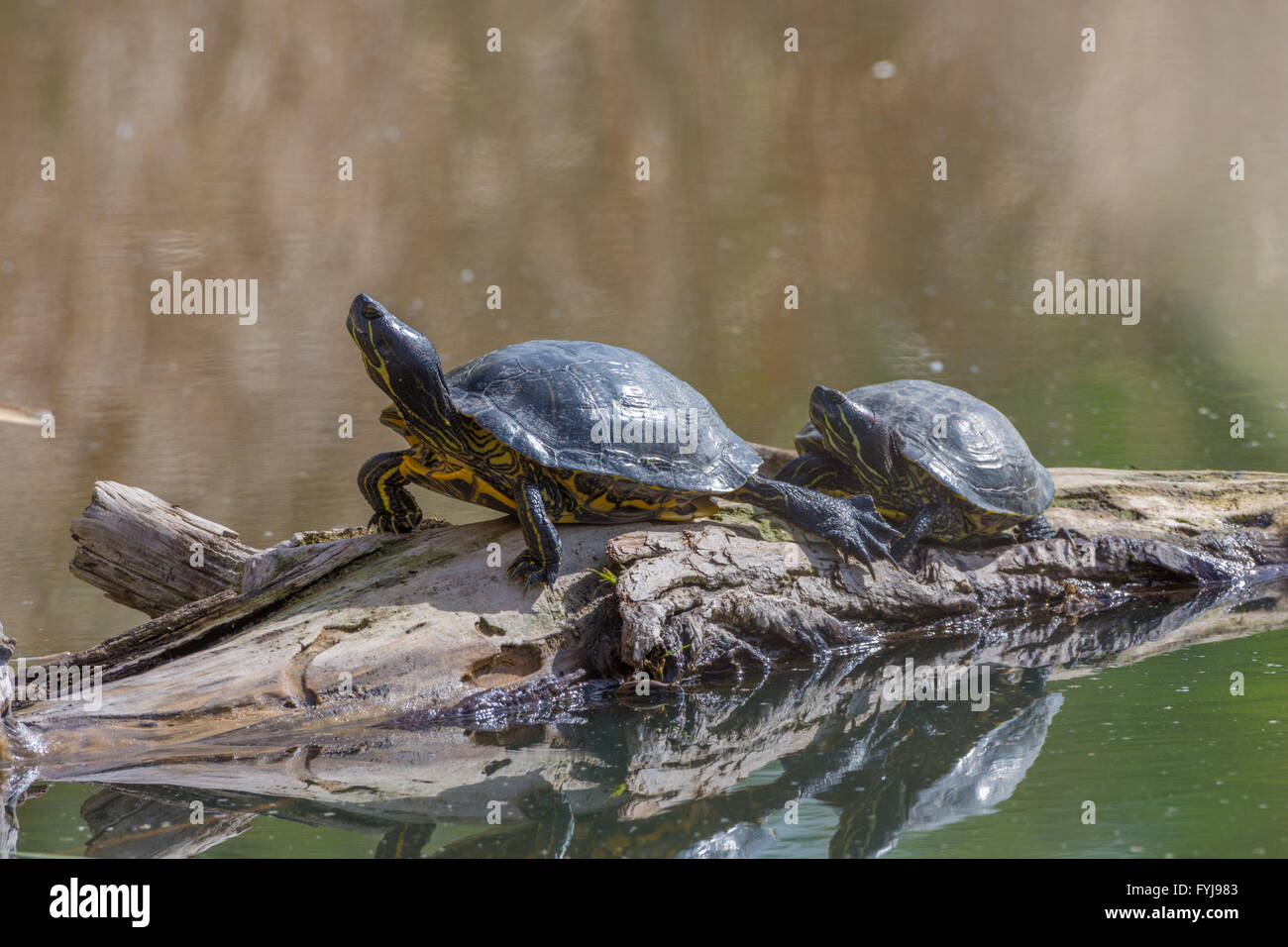Adult Red-eared Sliders, (Trachemys scripta elegans), basking at Tingley Beach, Albuquerque, New Mexico, USA. - Stock Image
