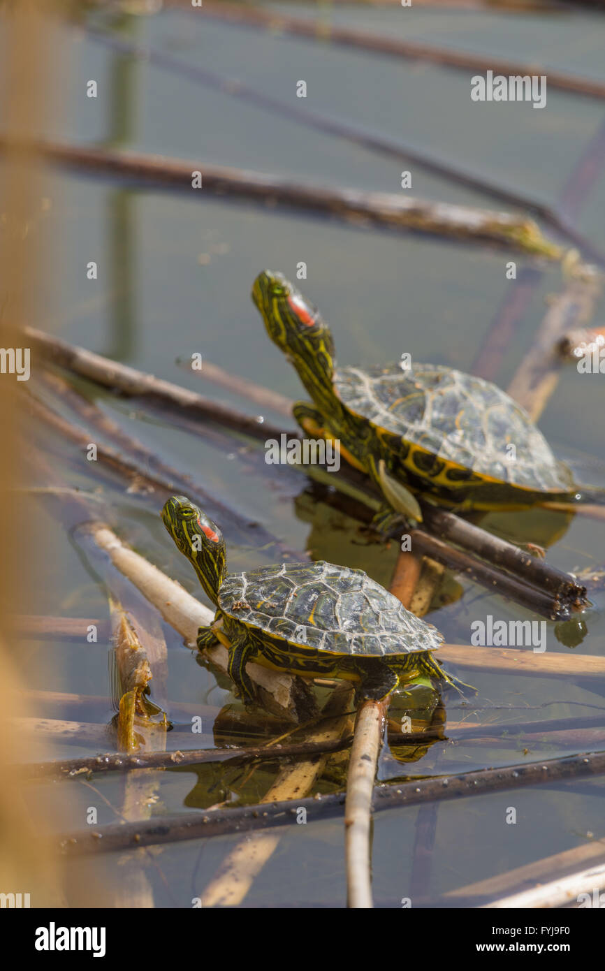 Juvenile Red-eared Sliders, (Trachemys scripta elegans), basking at Tingley Beach, Albuquerque, New Mexico, USA. - Stock Image
