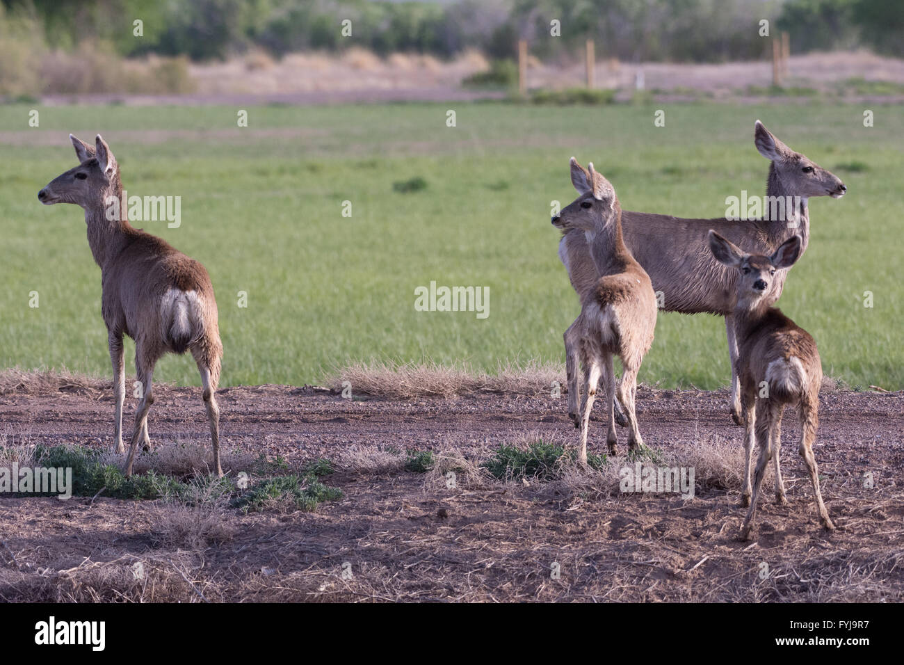 Rocky Mountain Mule Deer, (Odocoileus hemionus hemionus), does and fawn at Bosque del Apache National Wildlife Refuge, - Stock Image