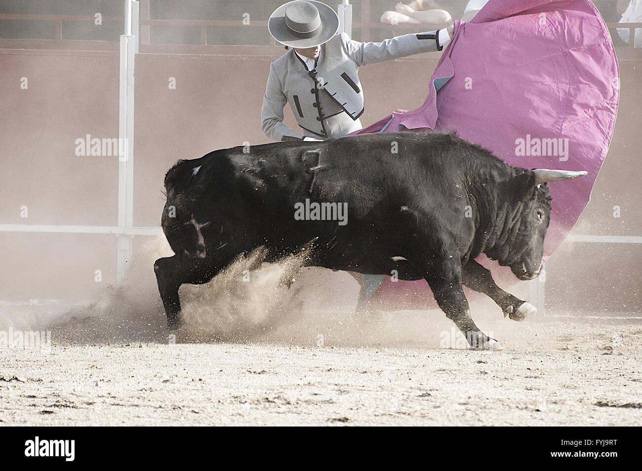 Bullfight. Fighting bull picture from Spain. Black bull - Stock Image