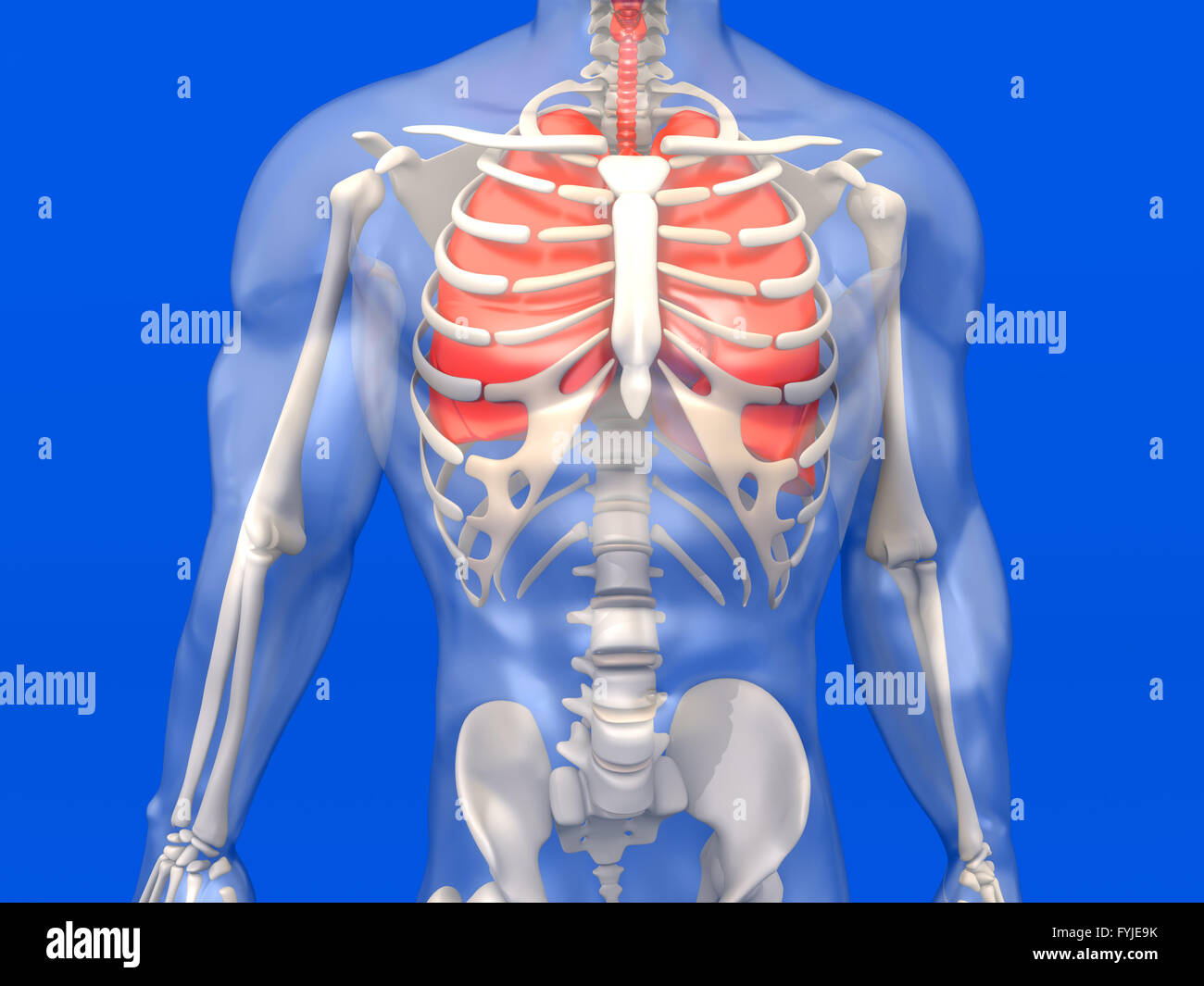 Human Anatomy Visualization The Lungs In A Semi Transparent Body