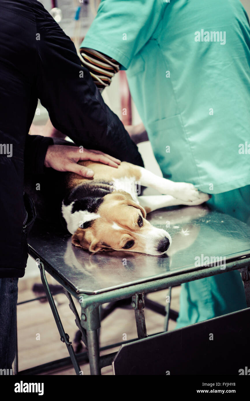 Dog at the vet in the surgery preparation room. - Stock Image