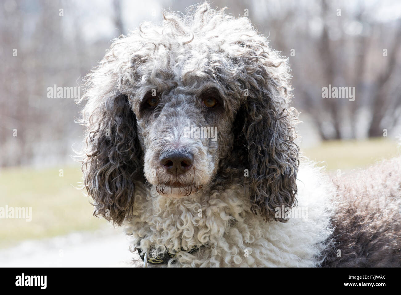head shot of a gray and white standadr poodle shot on natural light in a grayish background - Stock Image