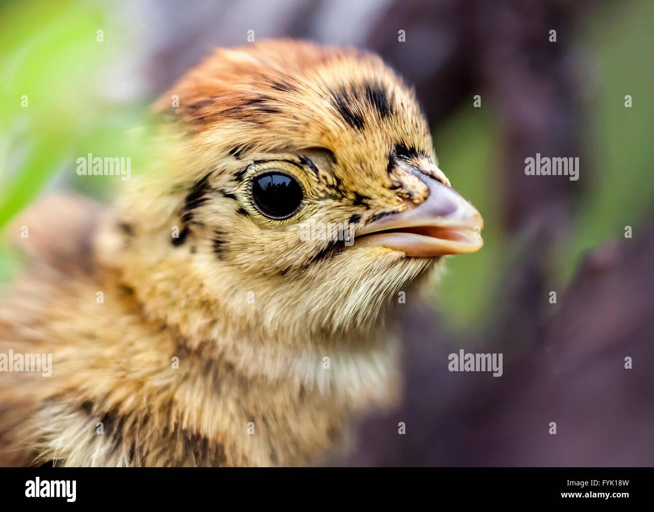 Black grouse chick (Lyrurus tetrix) - Stock Image