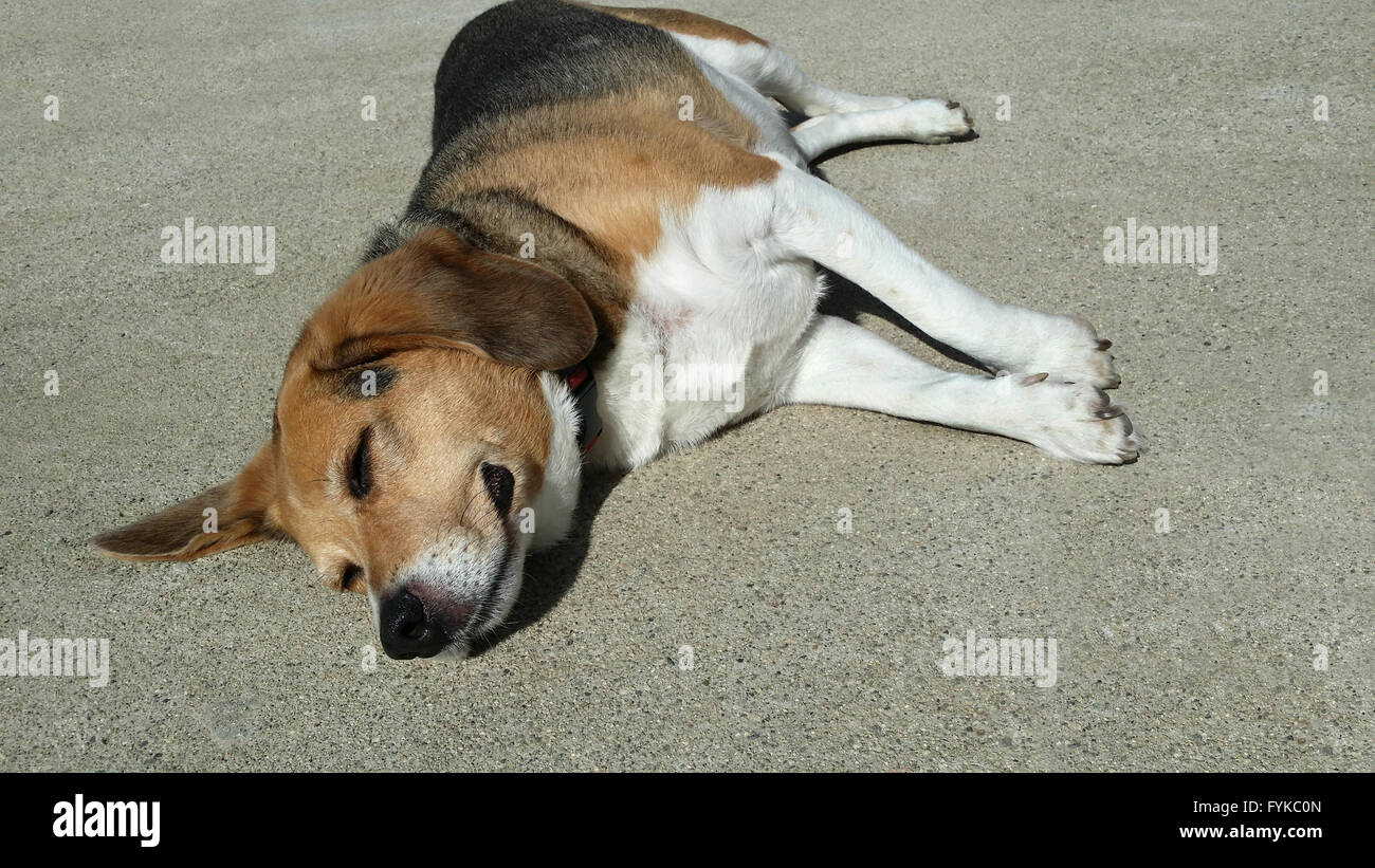 overweight beagle elderly dog lays stretched out on warm cement driveway sunbathing. He has no worries at all. - Stock Image