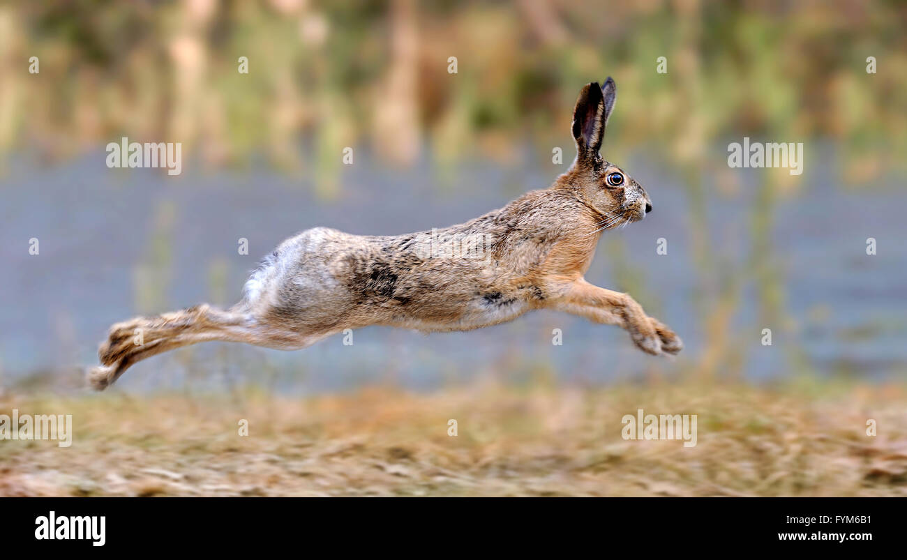 Hare running in a meadow - Stock Image