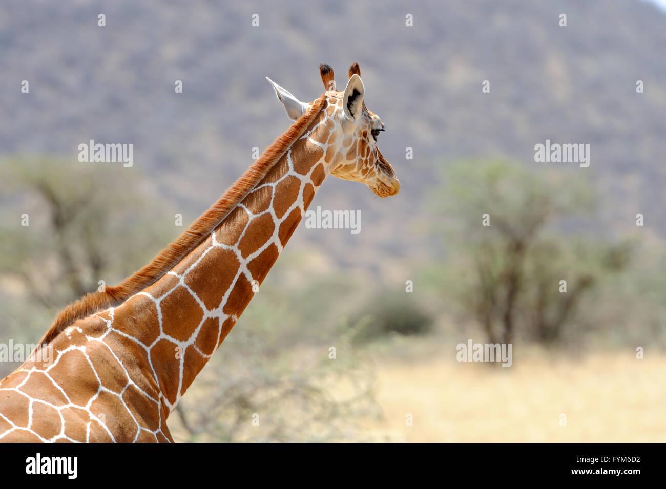 Giraffe in the wild. Africa, Kenya - Stock Image