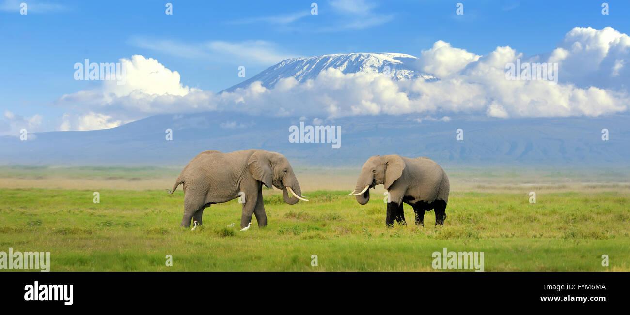 Elephant with Mount Kilimanjaro in the background - Stock Image