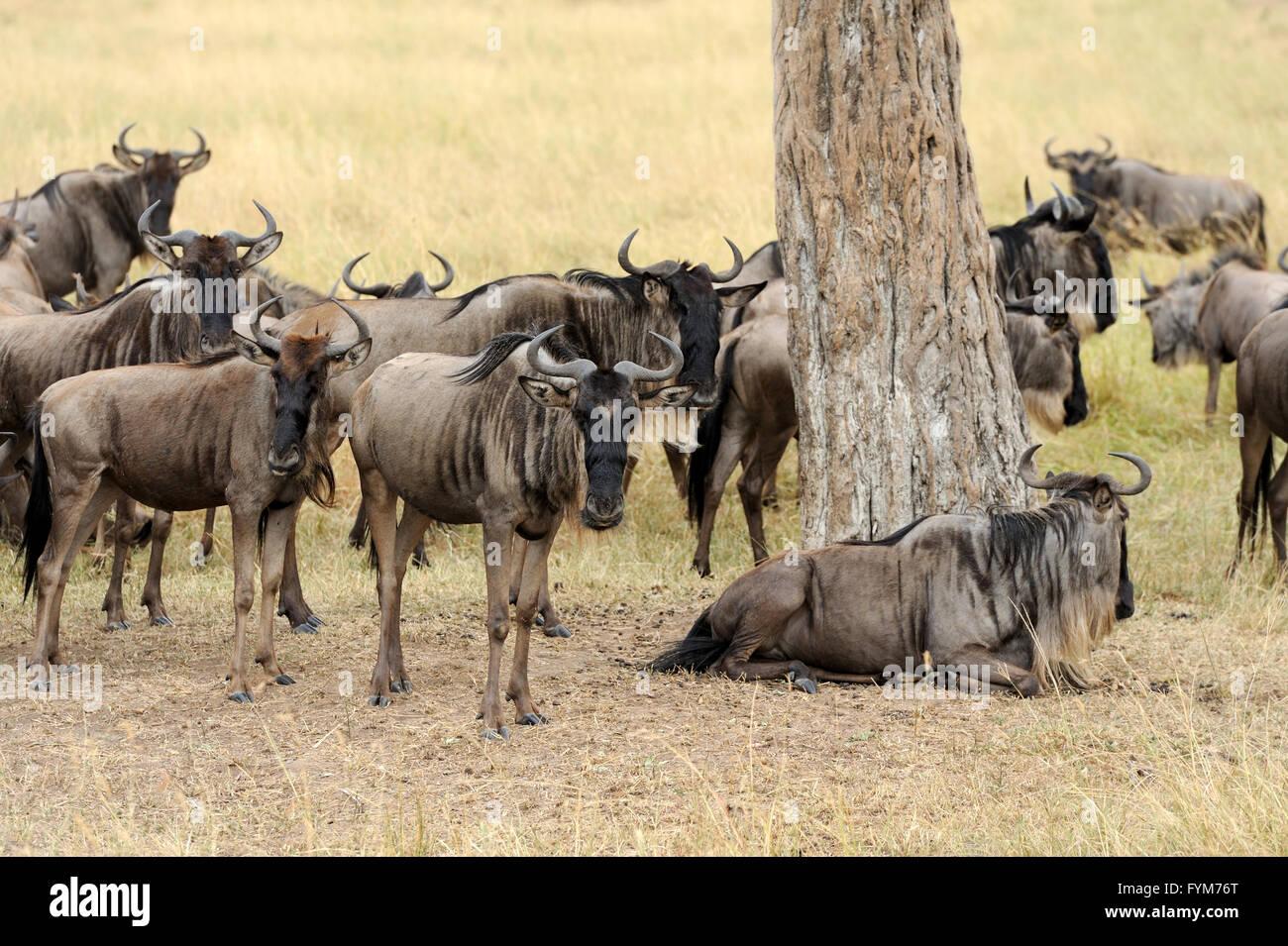 Wildebeest in National park of Kenya, Africa Stock Photo