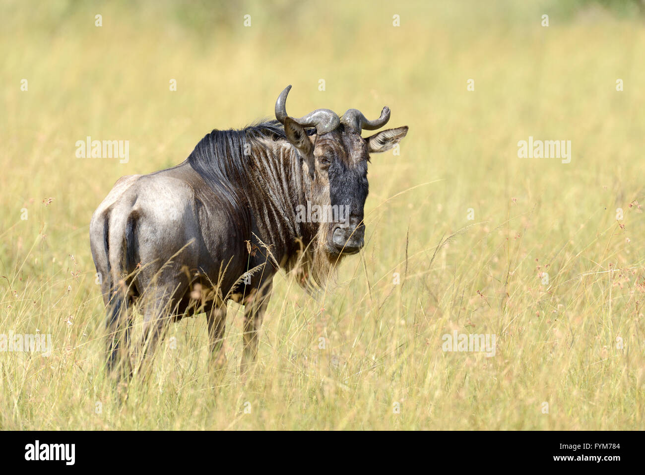 Portrait of a wildebeest, National park of Kenya, Africa - Stock Image