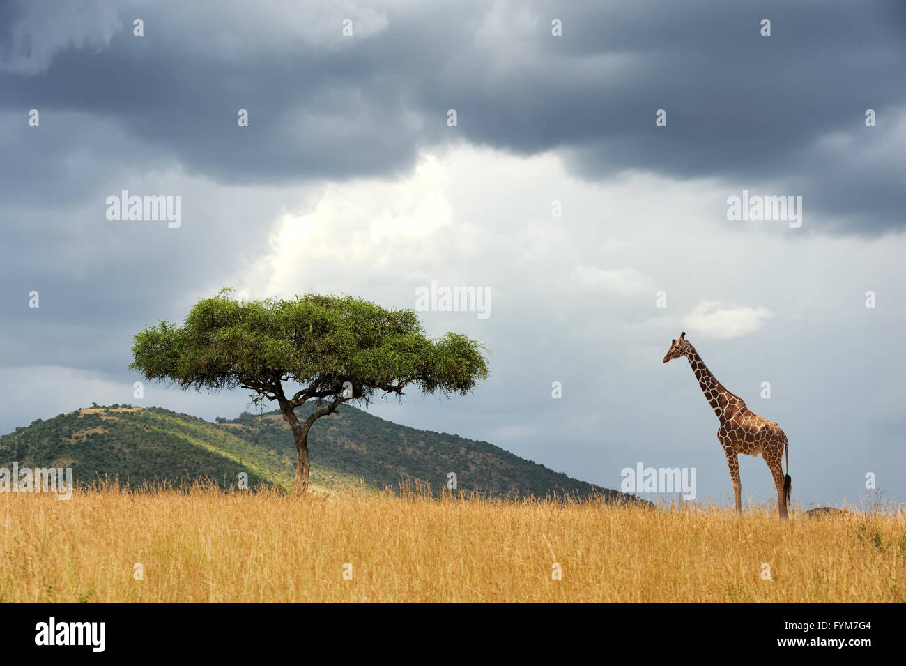 Beautiful landscape with nobody tree and gireffe  in Africa - Stock Image