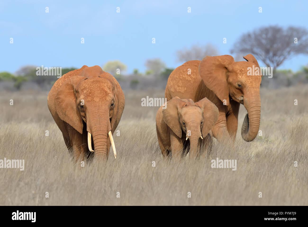 Elephant in National park of Kenya, Africa - Stock Image