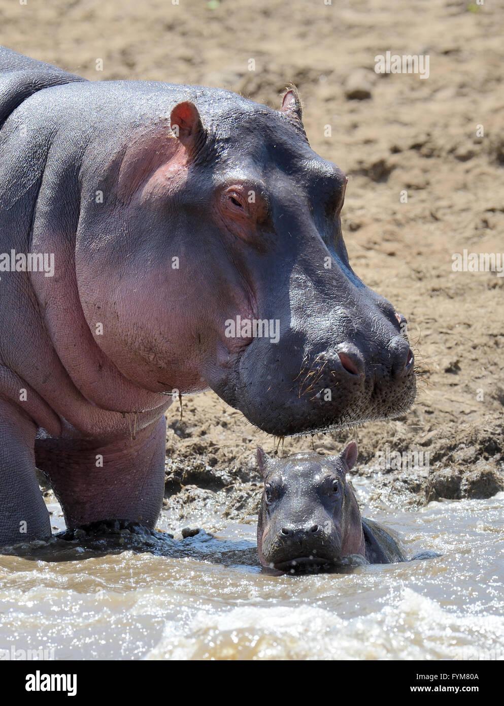 Hippo family (Hippopotamus amphibius) outside the water. Kenya, Africa Stock Photo