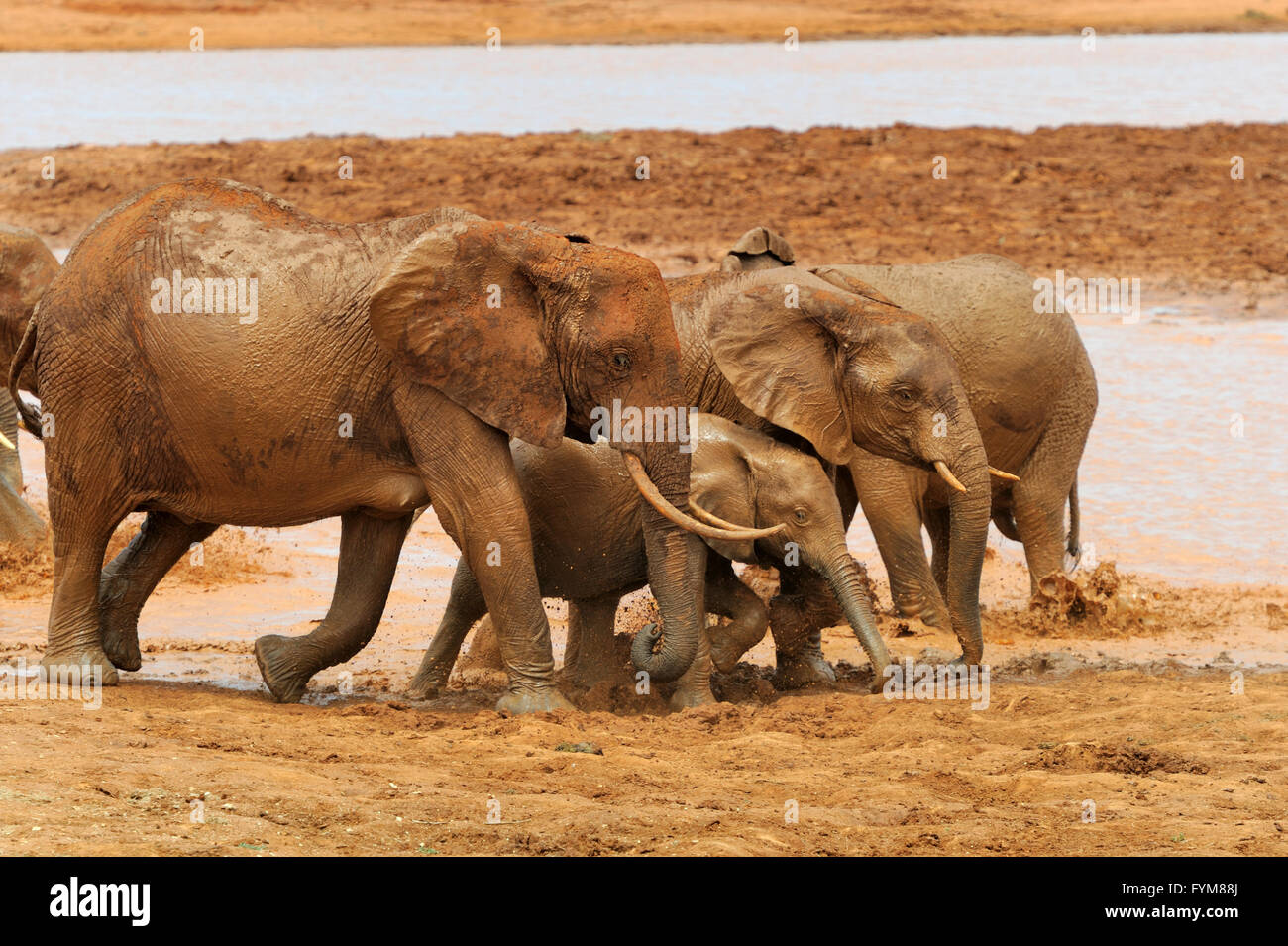 Elephant in National park of Kenya, Africa Stock Photo