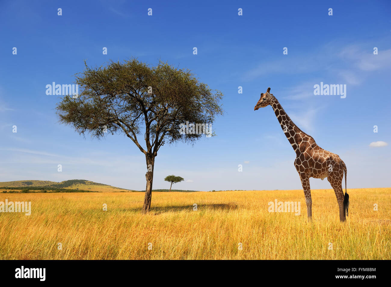 Beautiful landscape with tree and giraffe in Africa - Stock Image