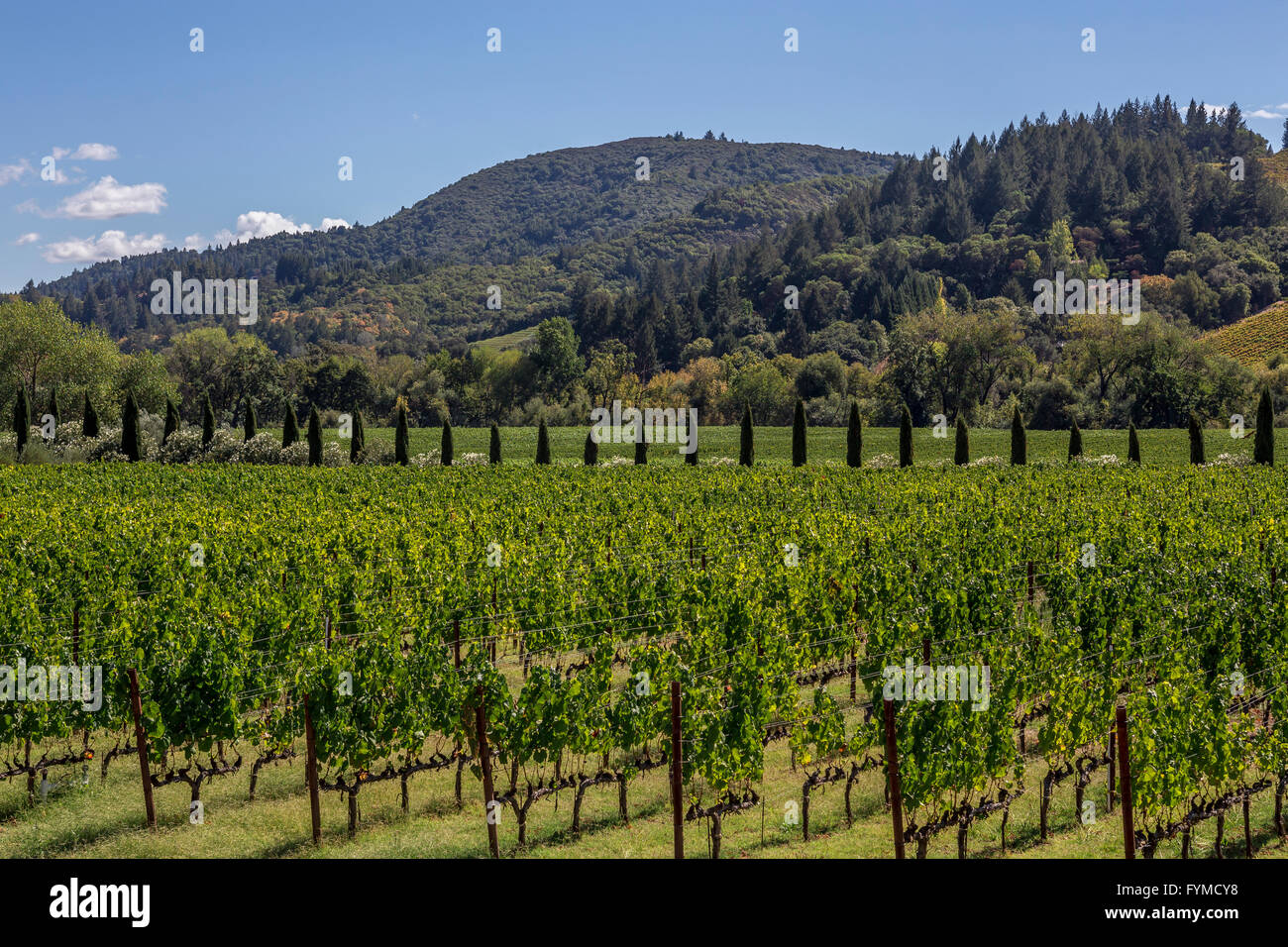 grape vineyard, grape vineyards, vineyard, vineyards
