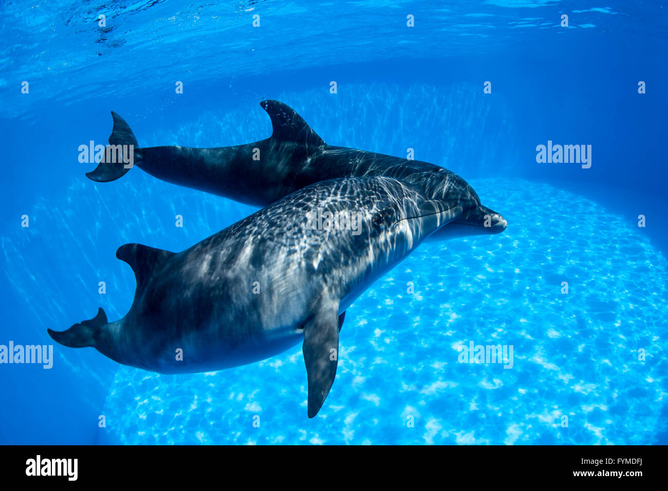 Dolphins couple swims under the water - Stock Image