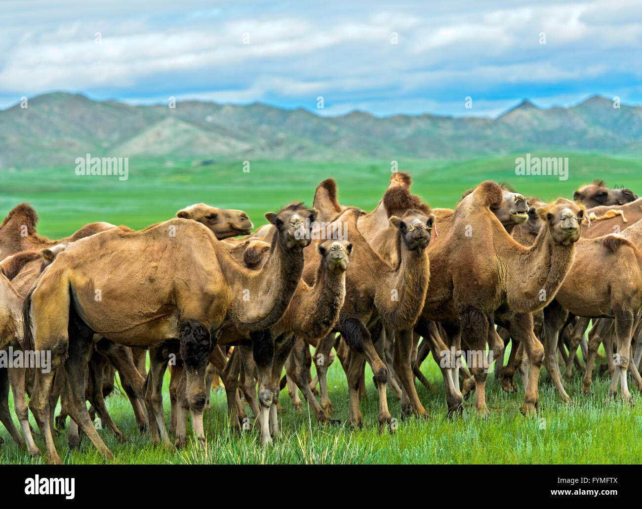 Herd of Bactrian camels (Camelus bactrianus) roaming in the Mongolian steppe, Mongolia Stock Photo