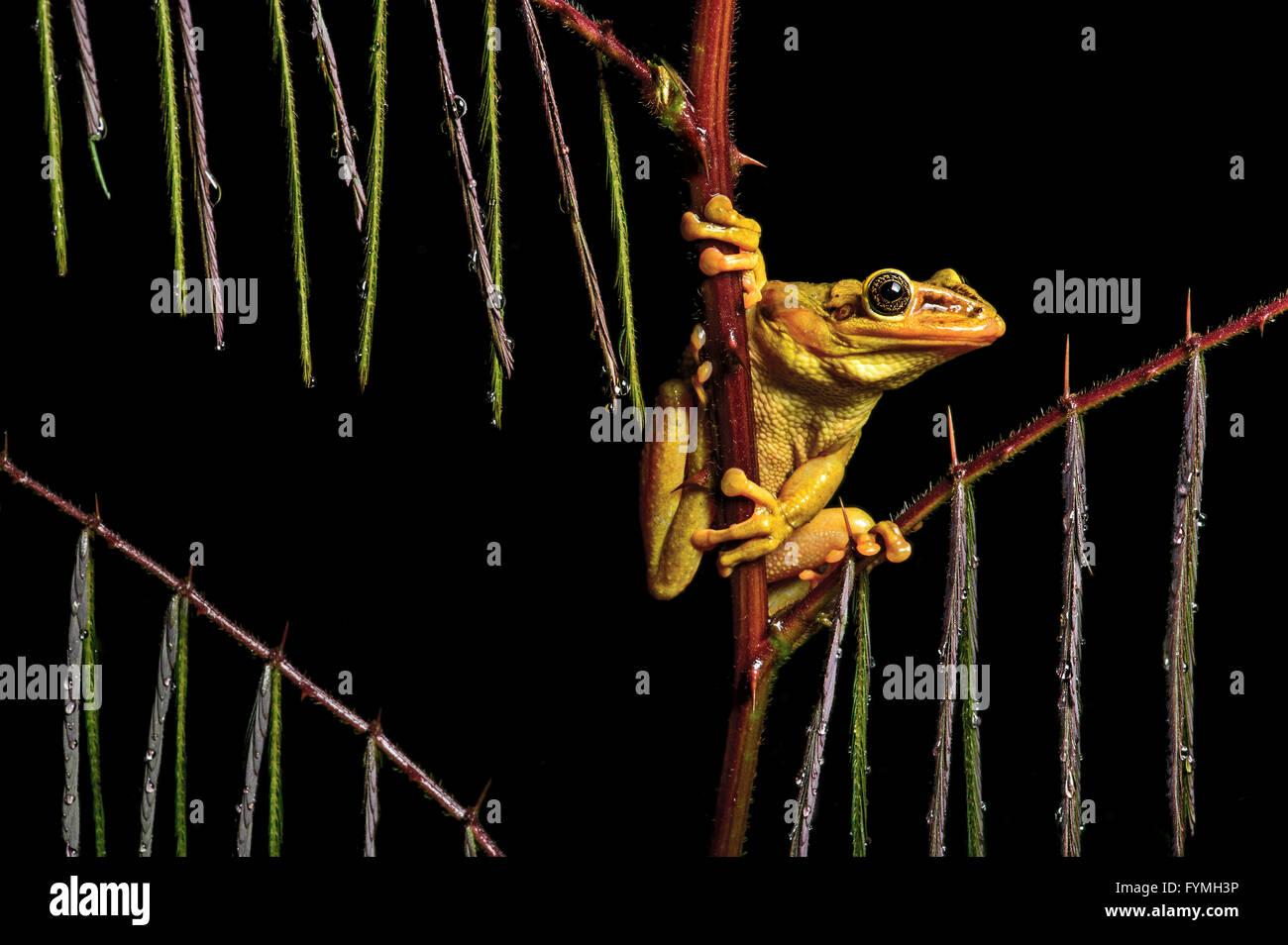 Male of neotropical Jordan's casque-headed tree frog (Trachycephalus jordani), Jorupe Biological Reserve, Ecuador - Stock Image