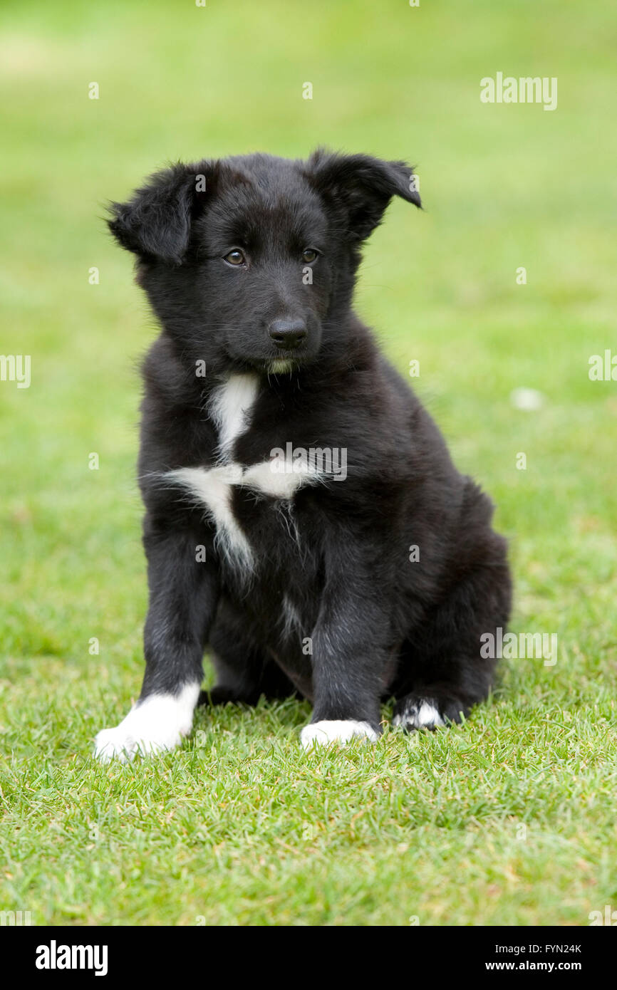 black and white border collie puppy - Stock Image