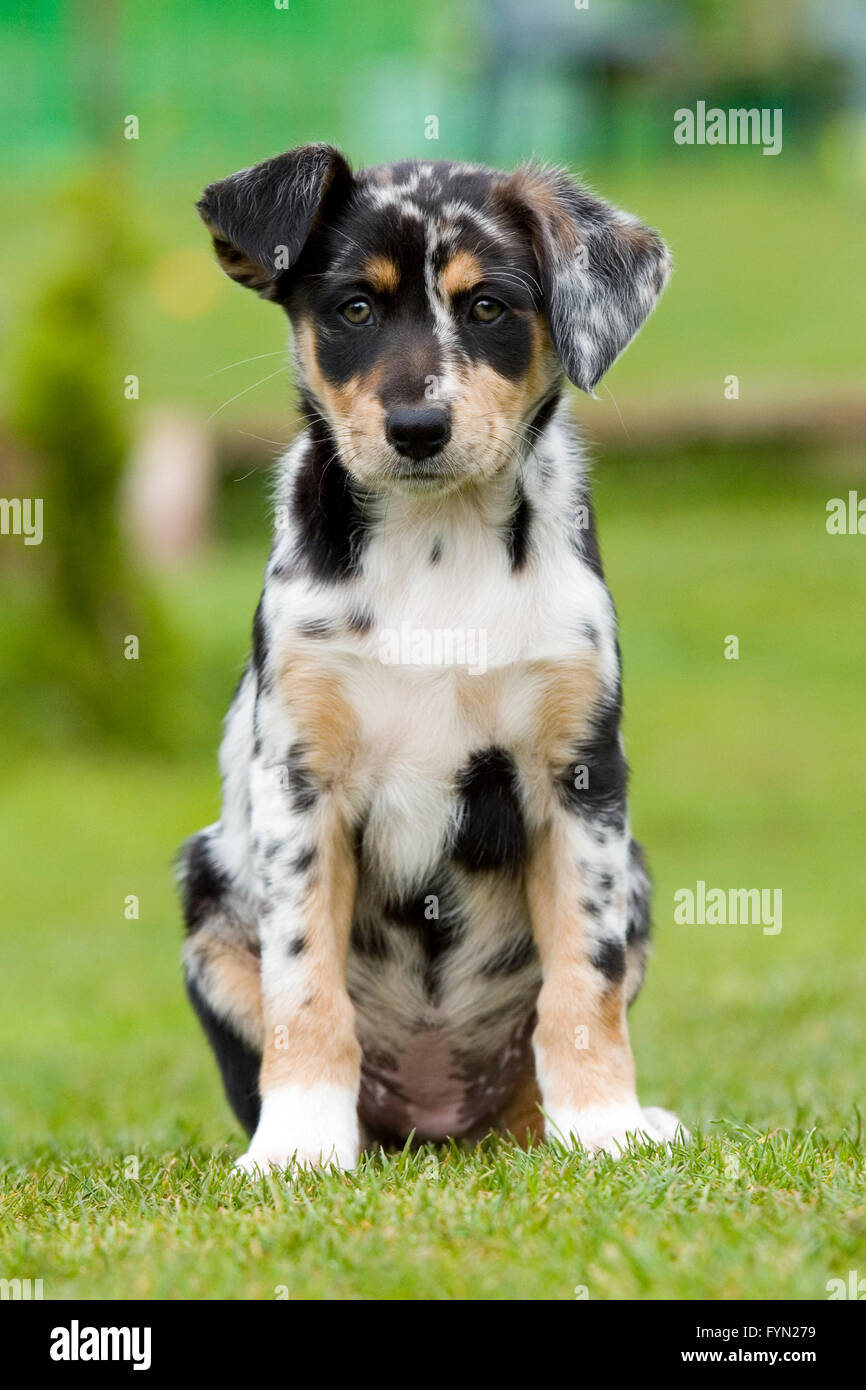 tri colour merle border collie puppy - Stock Image