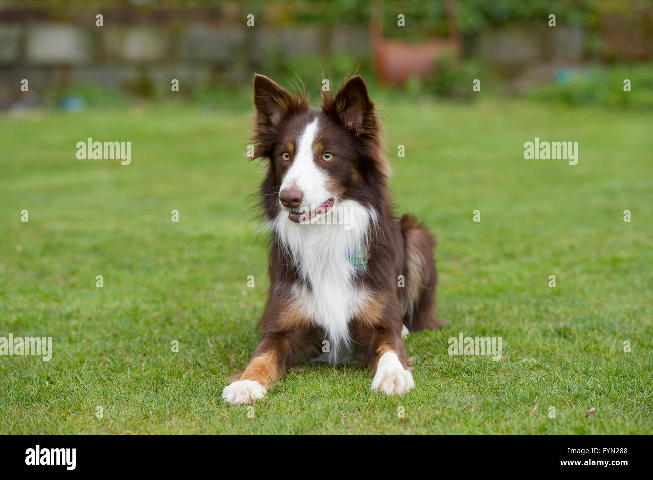 red border collie - Stock Image