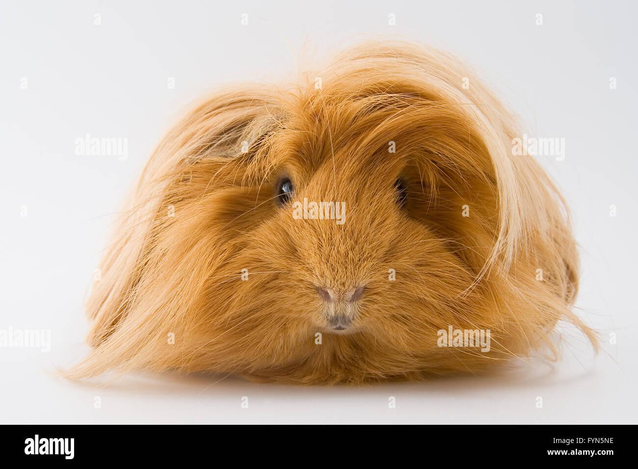 Guinea pig breed Sheltie. - Stock Image
