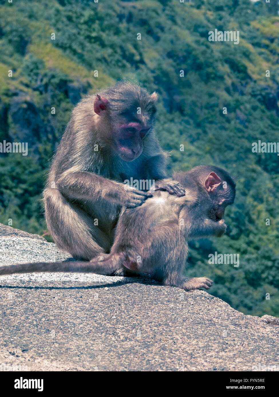 Bonnet monkeys - Stock Image