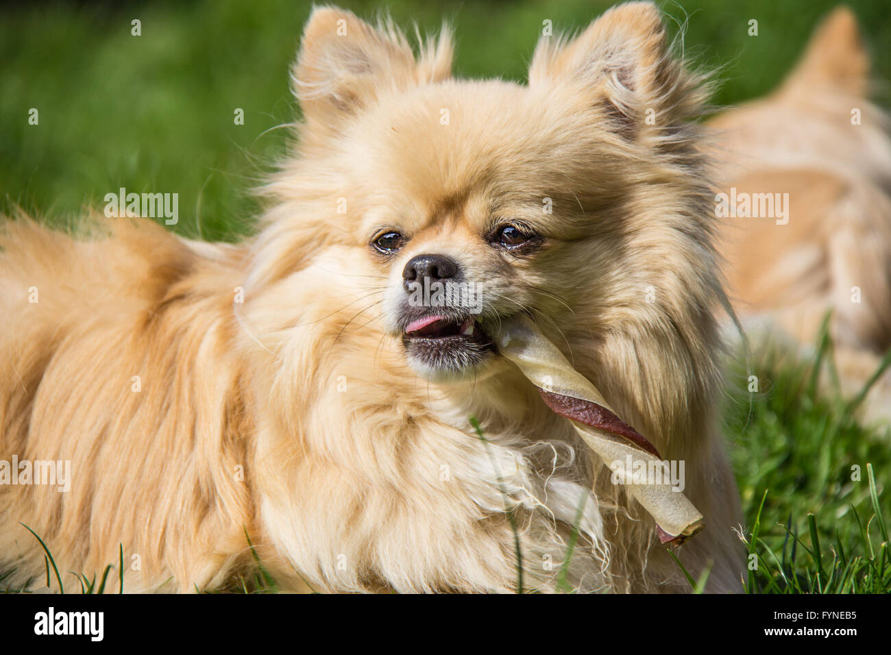 Pomeranian chiwawa pomchi doggie puppy doggie eating treat - Stock Image