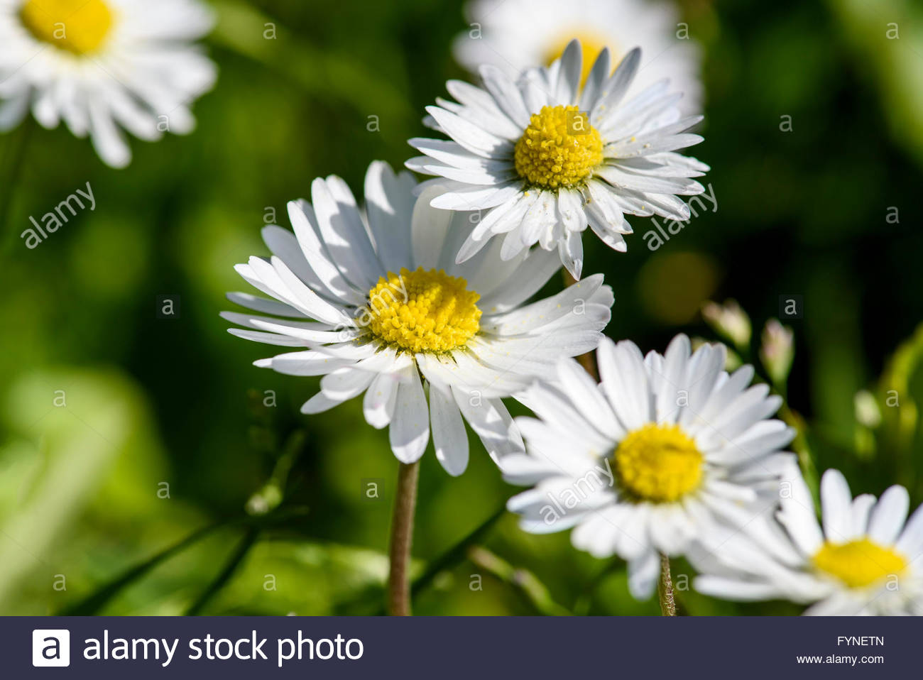 Bellis perennis commonly known as daisies yellow and white bellis perennis commonly known as daisies yellow and white flowers on green background macro close up on a summer day izmirmasajfo
