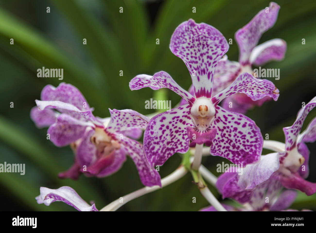 Orchid (Orchidaceae) in the botanical garden, National Orchid Garden in Singapore, Southeast Asia - Stock Image