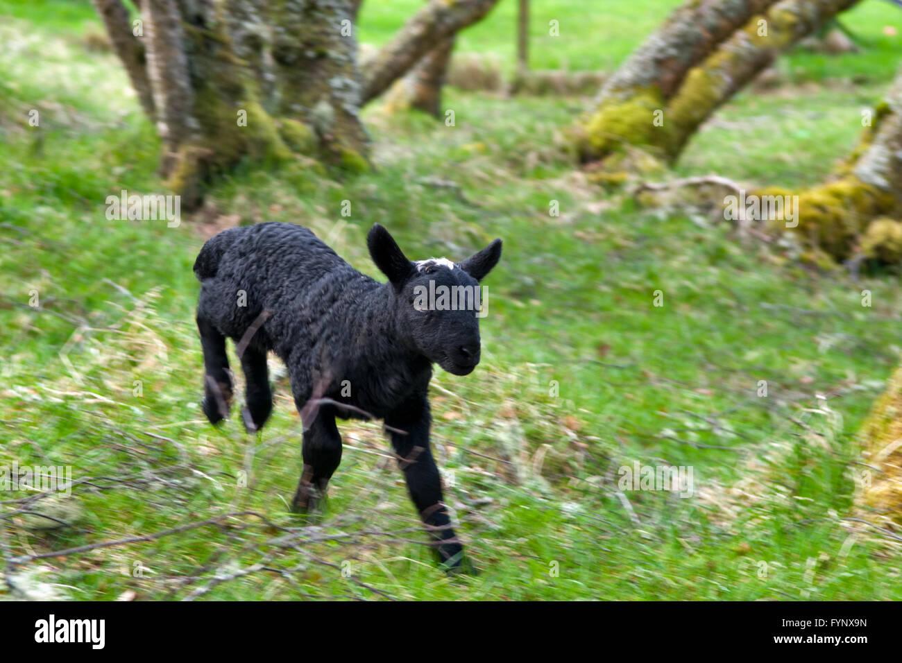 New born black lambs running in woodland, taken in spring in Scotland - Stock Image