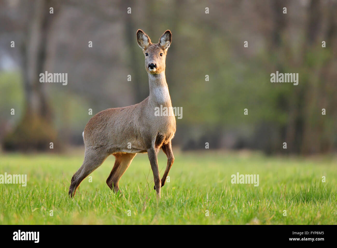 Photo of wild roe deer in a field Stock Photo