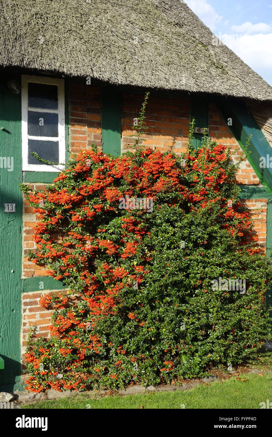 pyracantha in a farm house Stock Photo