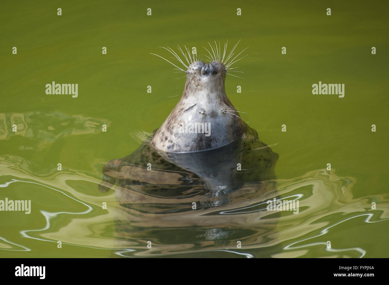 Fur seal emerges from the water. - Stock Image