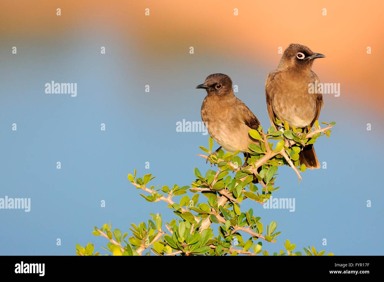 Two Cape Bulbuls (Pycnonotus capensis), perched on a branch, juvenile on the left, Addo Elephant National Park, Stock Photo