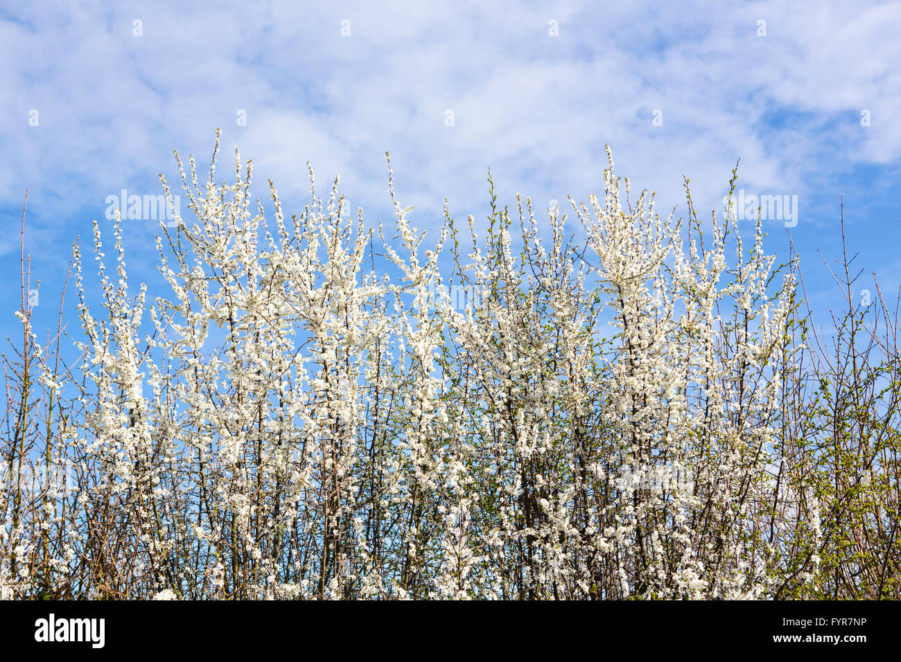 Tiny White Flowers On A Hedgerow Thorn Bush In The Spring Sunshine