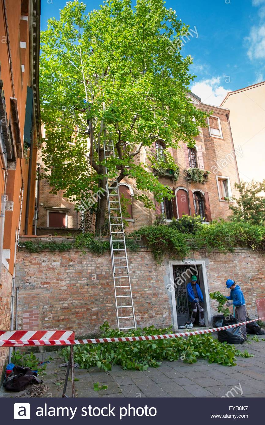 Tree surgery, Dorsoduro Venice, Italy, April - Stock Image