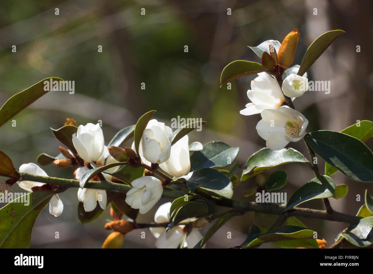 Scented White Flowers Of The Evergreen Magnolia Laevifolia Michelia